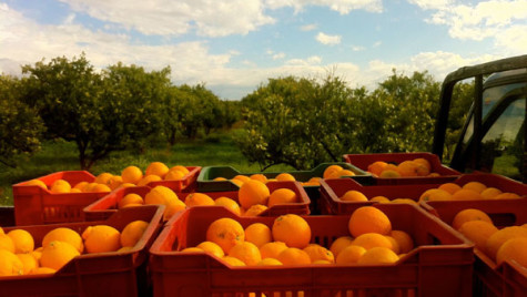 Carburantul viitorului? Cercetătorii japonezi au obţinut un biocombustibil din portocale